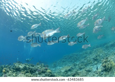 School of tropical silver fish close to the ocean surface
