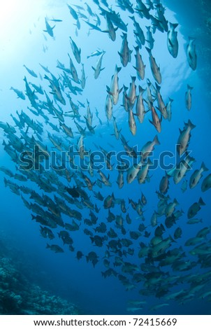 School of tropical Twinspot snapper, blue background. Shark reef, Ras Mohamed national Park, Red Sea, Egypt.