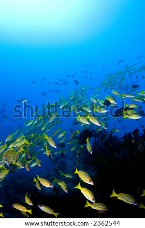 School of yellow snappers over reef. Indonesia Sulawesi Lembehstreet