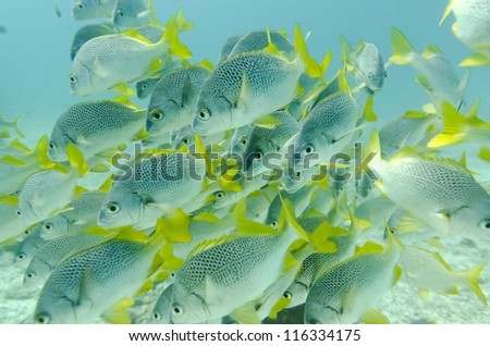 School of Yellow Tailed Grunt (Anisotremus Interruptus) fish swimming underwater, Santa Cruz Island, Galapagos Islands, Ecuador - stock photo