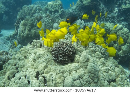 School of Yellow Tang - stock photo
