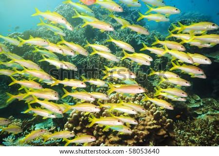 School of yellowfin goatfish (Mulloidichthys vanicolensis) underwater. Andaman sea - stock photo