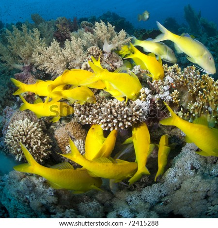 School of Yellowsaddle goatfish (parupeneus cyclostomus), foraging on a tropical coral reef. Jackson reef, Straits of Tiran, Red Sea, Egypt. - stock photo