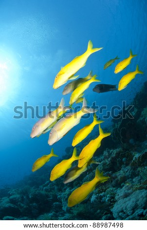 School of Yellowsaddle goatfish (parupeneus cyclostomus), foraging on a tropical coral reef. Jackson reef, Straits of Tiran, Red Sea, Egypt.