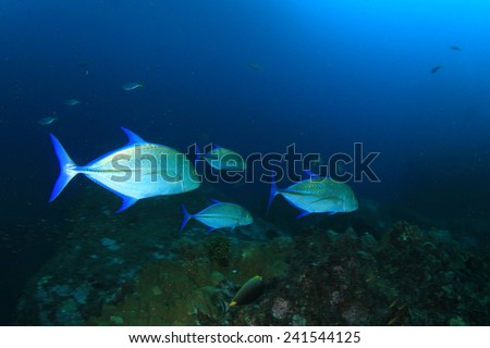 School Trevally fish hunting - stock photo