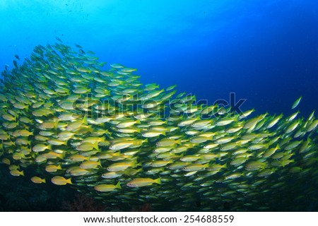 School yellow fish: Bigeye Snappers - stock photo