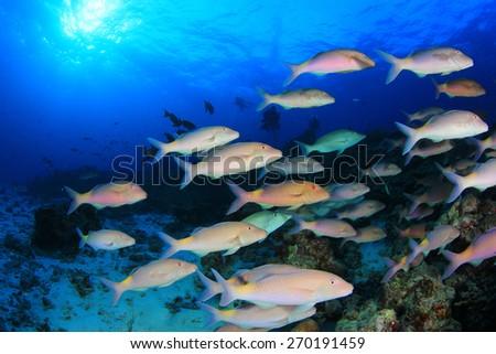 School yellow fish (goatfish) in blue ocean - stock photo