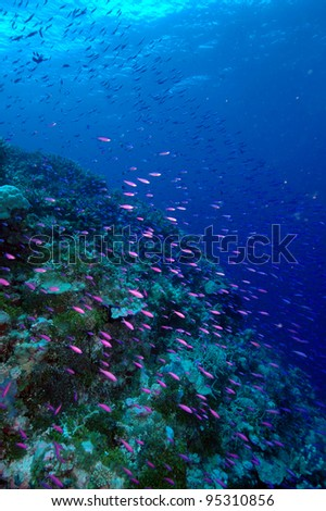 Schooling anthias/fairy basslets, Rongelap Atoll, Marshall Islands, Pacific Ocean - stock photo