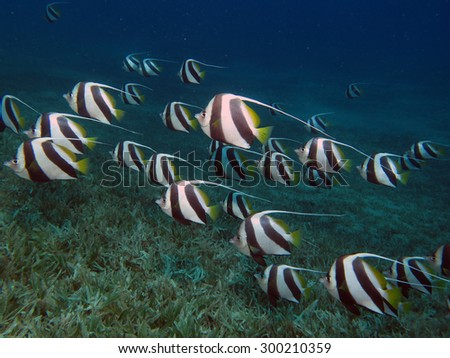 Schooling bannerfish over seagrass - stock photo