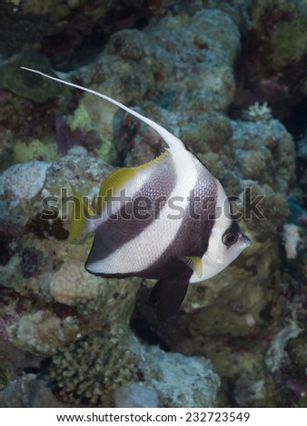 Schooling butterflyfish in red sea - stock photo