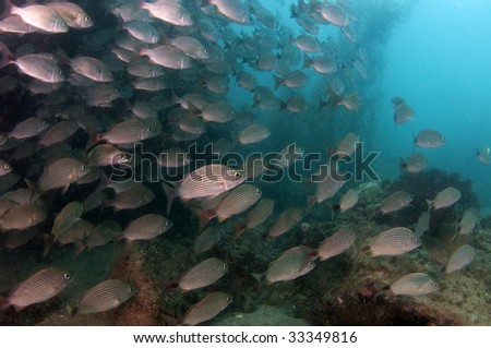 Schooling Fish in the Sea of cortez - stock photo