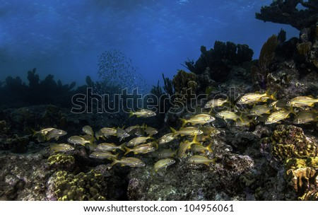 Schooling Fish on Molasses Reef in Key Largo, Florida. Diving at the John Pennekamp State Park. With a blue water background and lots of colorful coral. - stock photo