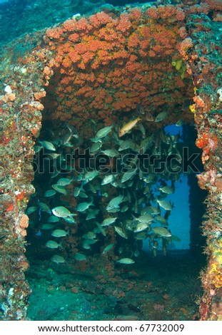 "Schooling Grunts inside an artificial reef named the ""Ancient Mariner"".  In the waters off Deerfield Beach, Florida. - stock photo"
