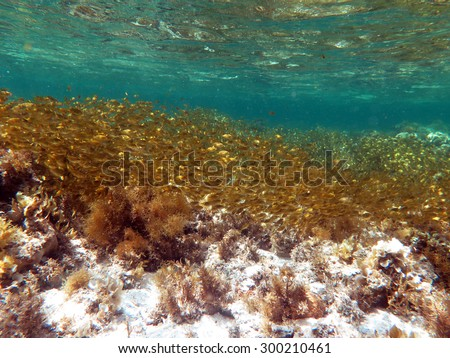 Schooling juvenile golden rabbitfish in shallow water - stock photo