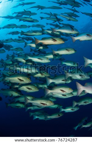 Schooling snappers - stock photo