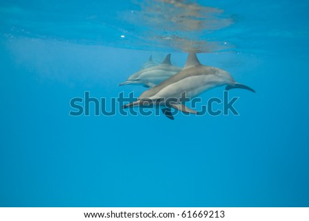 Schooling Spinner dolphins (Stenella longirostris). Sataya, Southern Red Sea, Egypt. Selective focus.