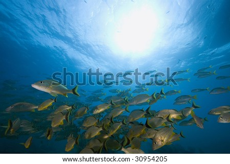 Schooling tropical fish, Key Largo, Florida - stock photo