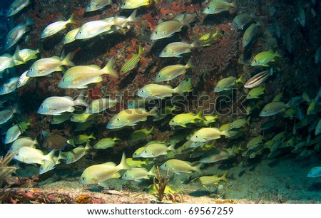 Schooling White Grunts on an artificial reef in south east Florida. - stock photo