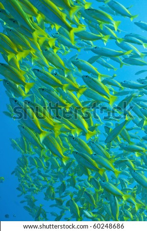 schooling yellow-stripped goatfish, Great barrier reef, Queenslaand, Australia - stock photo