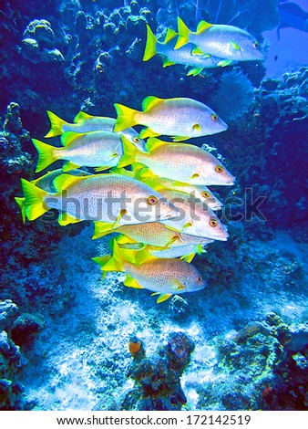 Schoolmaster fish in the Cayman Islands float in a current while lit by sunlight. - stock photo