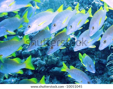 Schoolmaster fish on a reef in the Cayman Islands - stock photo