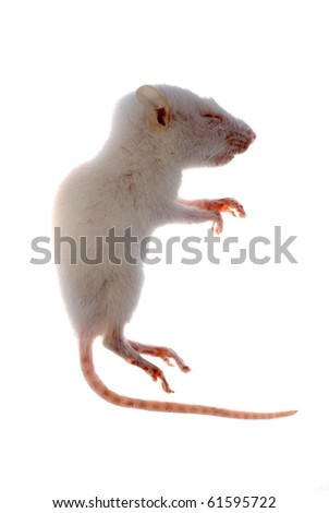 science animal white rat mouse isolated - stock photo