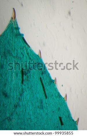 science microscopy micrograph black algae leaf Hydrilla verticillata micro - stock photo