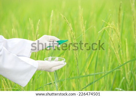 Scientist Sampling rice. To research laboratories. - stock photo