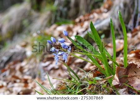 Scilla bifolia (alpine squill  or two-leaf squill) - stock photo