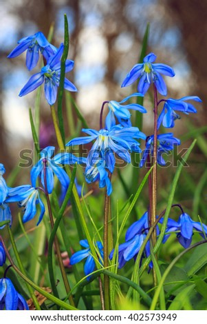scilla bifolia blue flowers in forest - stock photo