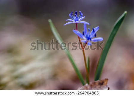 scilla in forest - stock photo