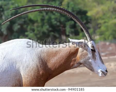 Scimitar Horned Oryx - stock photo