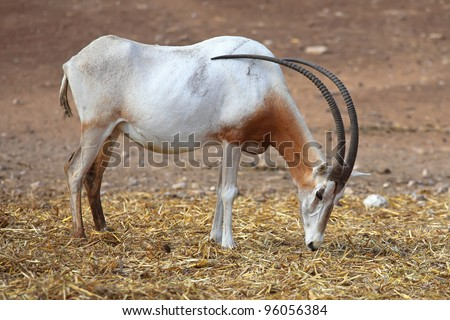 Scimitar Horned Oryx in zoo - stock photo