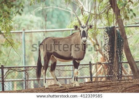 Scimitar Horned Oryx in zoo.  vintage tone - stock photo