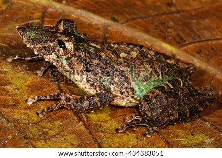 Scinax garbei is a species of frog in the Hylidae family. It is found in Bolivia, Brazil, Colombia, Ecuador, Peru, Venezuela, and possibly Guyana. - stock photo