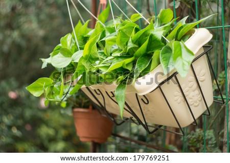 scindapsus aureus in flowerpot - stock photo