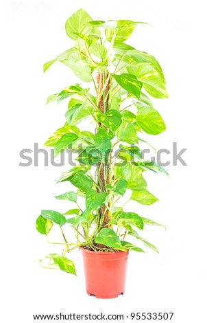 scindapsus isolated on a white background - stock photo