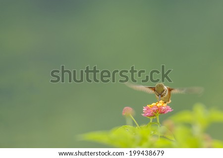 Scintillant hummingbird feeding on nectar in Costa Rica. - stock photo
