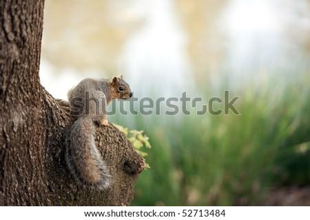 sciurus niger looking back - stock photo