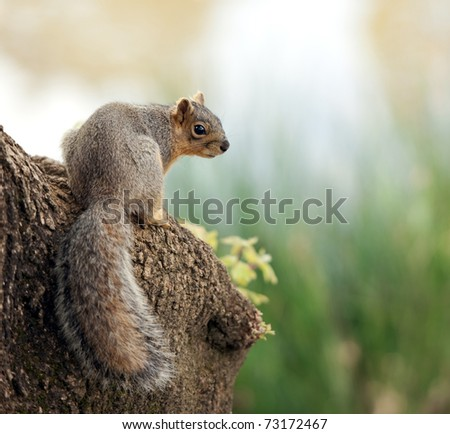 sciurus niger on the river bank