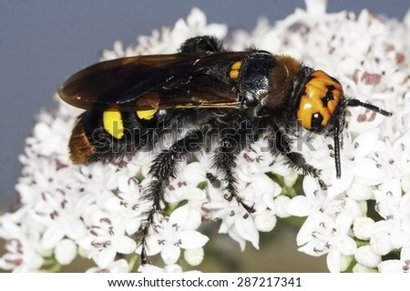 Scolia flavifrons / Mammouth wasp in natural habitat - stock photo