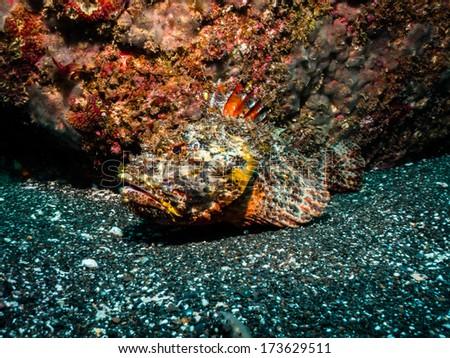 Scorpaena scrofa (Scorpionfish) - stock photo