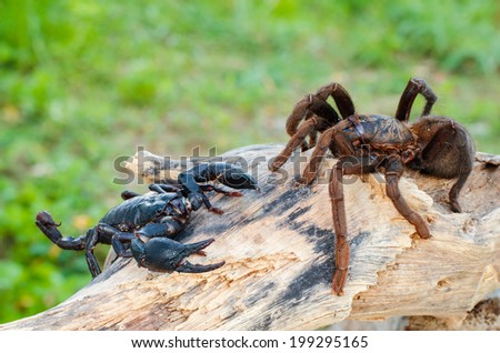 Scorpion and the Spider On dry timber - stock photo
