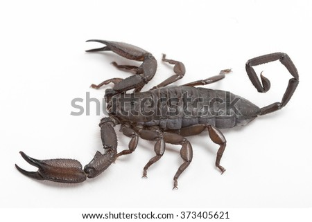 Scorpion close-up isolated on white background, high resolution detailed image - stock photo