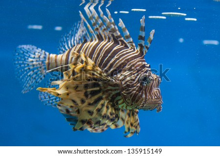Scorpion Fish with blue background - stock photo