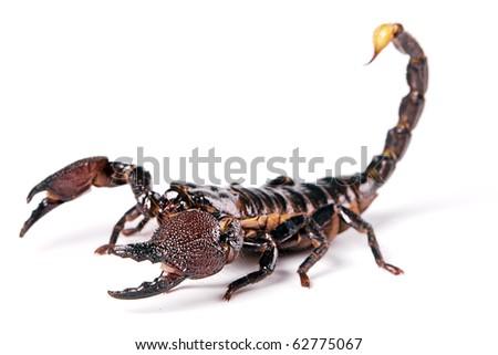 Scorpion isolated on white background. - stock photo