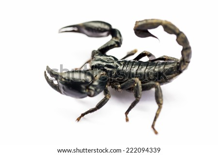 Scorpion on white background  - stock photo