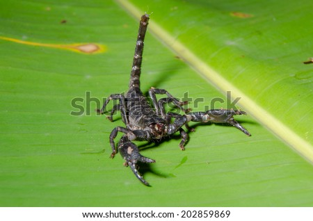 Scorpion Pandinus imperator. - stock photo