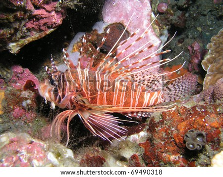 Scorpionfish - stock photo