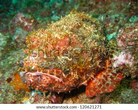 Scorpionfish (Scorpaena porcus) - stock photo